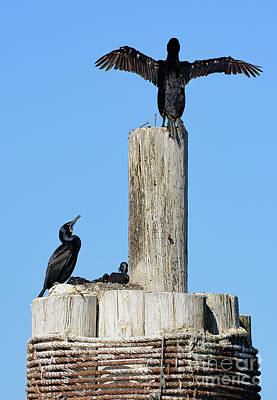 Poster featuring the photograph Home Sweet Home Brandt's Cormorant Style by Susan Wiedmann