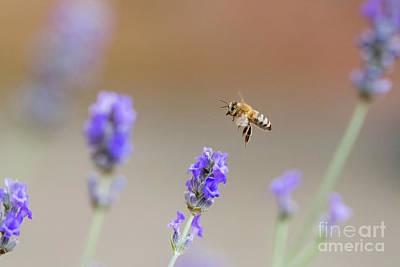 Honey Bee - Apis Mellifera - Flying Through Lavender In Flower Poster