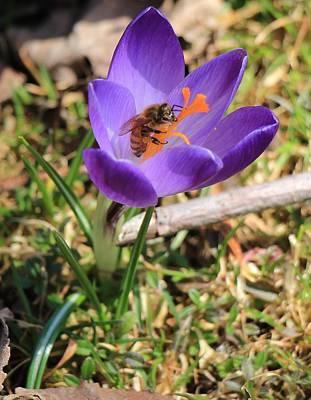Poster featuring the photograph Honey Bee On Crocus  by Rick Morgan