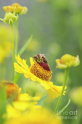 Honey Bee On Helenium Riverton Beauty Flower Poster