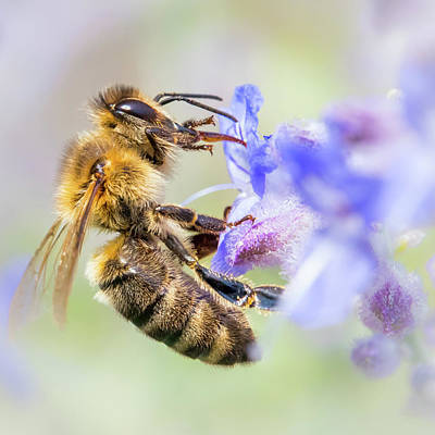 Honey Bee On Russian Sage Poster by Jim Hughes