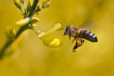 Honeybee Apis Mellifera Poster by Gabor Pozsgai