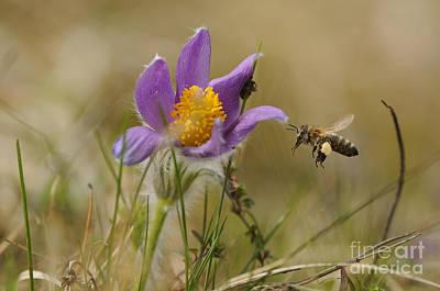 Honeybee At Pasque Flower Poster by David & Micha Sheldon