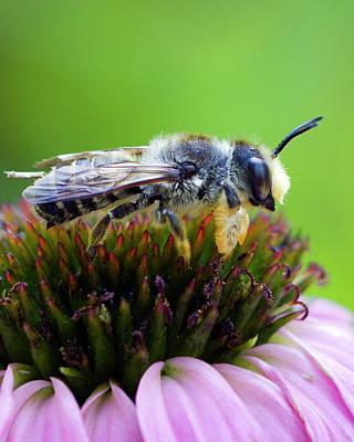 Honeybee In Coneflower Poster