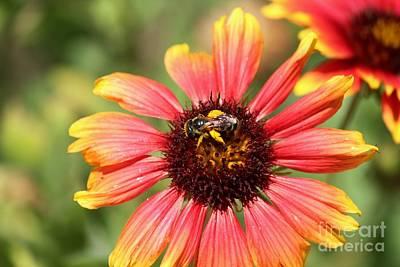 Honeybee On Blanket Flower Poster