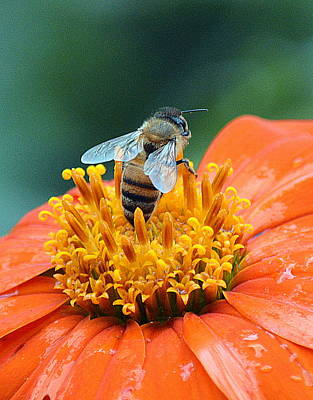 Honeybee On Orange Flower Poster