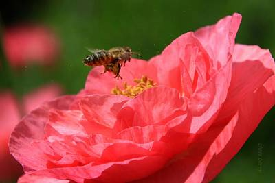 Honeybee Pollinating A Poppy Poster by Chris Berry