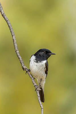 Hooded Robin Poster