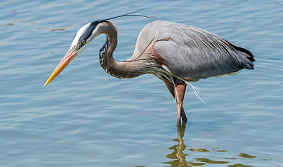 Hooper's Island - Great Blue Heron Poster by Brian Wallace