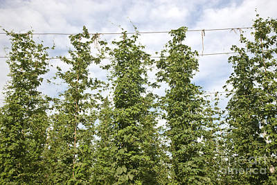 Hops Vines Poster by Inga Spence