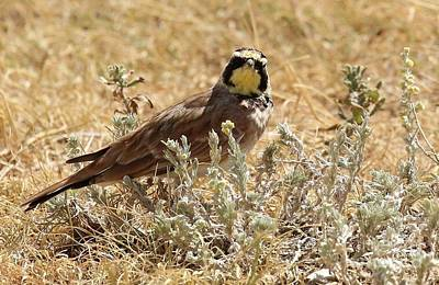 Horned Lark Poster by Angela Koehler