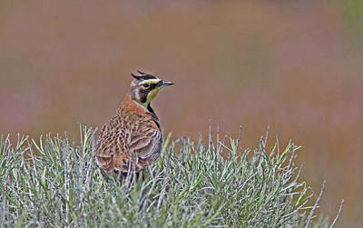 Horned Lark Poster by Gary Wing