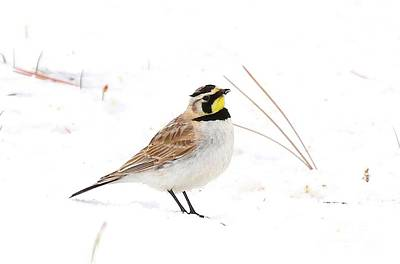 Horned Lark In Snow Poster by Angela Koehler