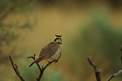 Horned Lark Poster by Jeff Swan