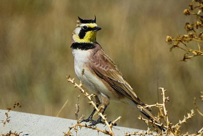 Horned Lark Poster by Mindy Musick King