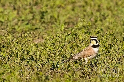 Horned Lark On The Prairie Poster by Natural Focal Point Photography