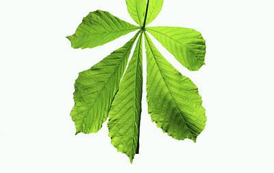 Horse-chestnut Leaf Poster