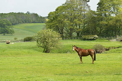 Horse In Field  Morpeth Poster