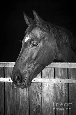 Horse Portrait Poster by Delphimages Photo Creations
