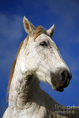 Horse Portrait Poster by Gaspar Avila
