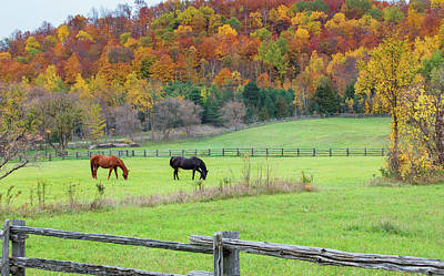 Horses Contentedly Grazing In Fall Pasture Poster