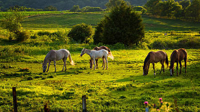 Horses Grazing In Evening Light Poster