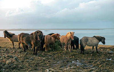 Poster featuring the photograph Horses In Iceland by Dubi Roman