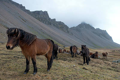 Poster featuring the photograph Horses Near Vestrahorn Mountain, Iceland by Dubi Roman