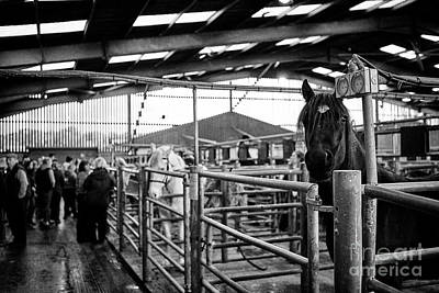 Horses To Be Auctioned At Horse And Livestock Auction Barn Beeston Castle England Uk Poster by Joe Fox