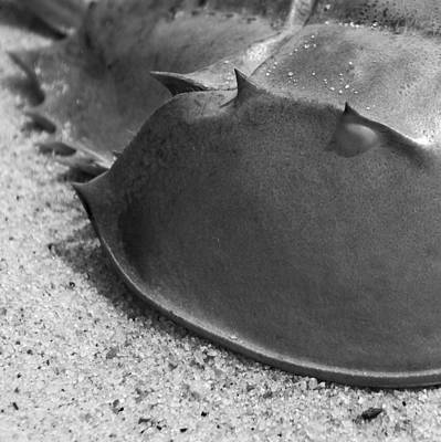 Horseshoe Crab Poster by Charles Harden