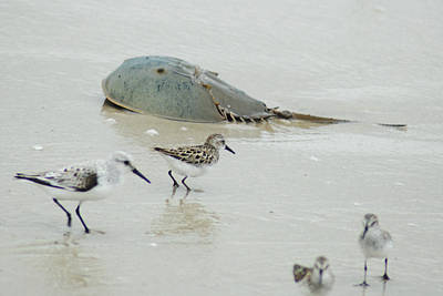 Poster featuring the photograph Horseshoe Crab With Migrating Shorebirds by Richard Bryce and Family