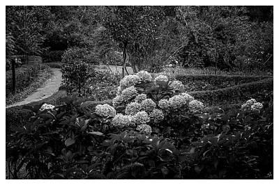 Hortencias-bosque Do Silencio-campos Do Jordao-sp Poster