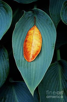 Hosta And Rhododendron Leaves Poster by Tim Gainey