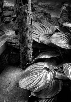 Hosta And Steps In Black And White Poster