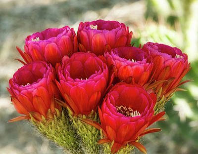 Poster featuring the photograph Hot Pink Torch Cactus Bouquet  by Saija Lehtonen