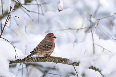 House Finch In Snow Poster by Brian Bonham