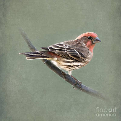 House Finch On Green Poster
