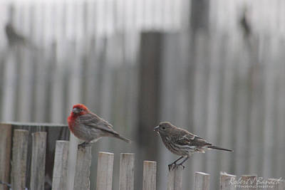 House Finches On The Fence Poster