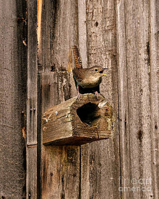House Wren And House Poster