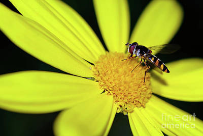 Poster featuring the photograph Hoverfly On Bright Yellow Daisy By Kaye Menner by Kaye Menner