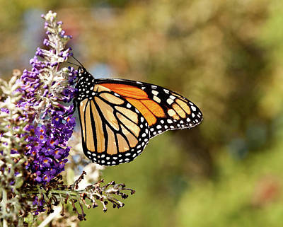 Poster featuring the photograph Hues Of Autumn Monarch by Lara Ellis