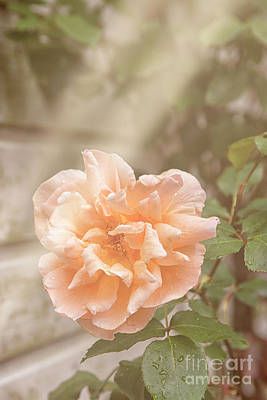 Huge Pink Rose In Garden Poster by Patricia Hofmeester