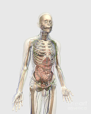 Human Body With Internal Organs Poster