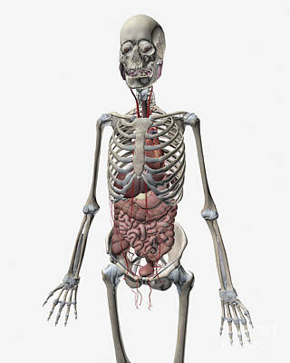 Human Skeletal System With Organs Poster by Stocktrek Images