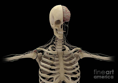 Human Skeleton With Transectional View Poster by Stocktrek Images