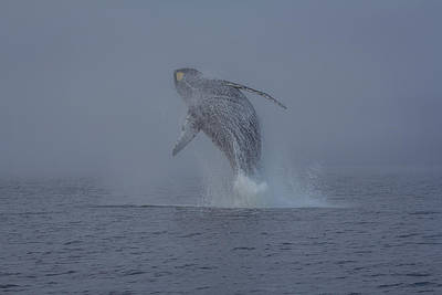 Humback Whale Breaching In Chatham Strait Poster by Wild Montana Images