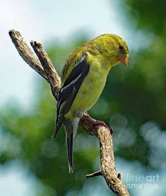 Humble American Goldfinch Poster by Cindy Treger