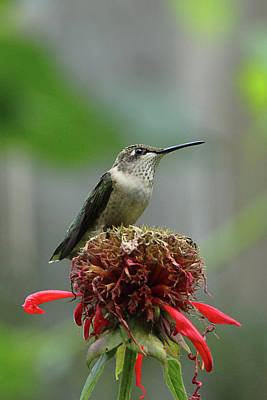 Humming Bird Atop Bee Balm Poster