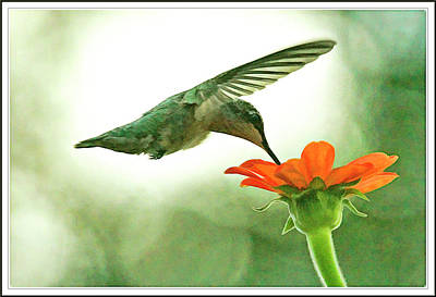 Female Hummingbird And Zinnia In Morning Light Poster