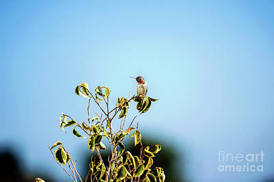 Poster featuring the photograph Humming Bird On A Branch by Micah May